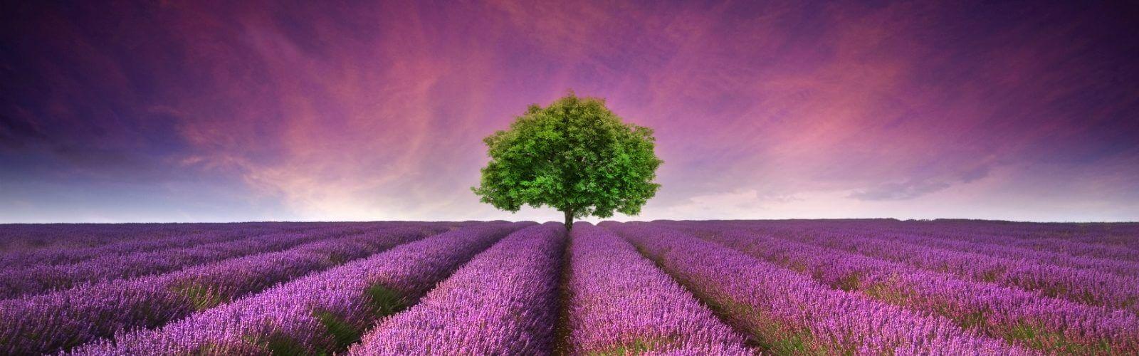 lavender-9-1600x500